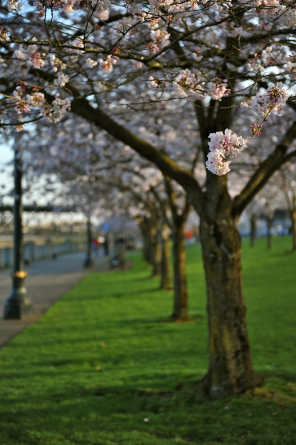 Cherry Blossoms, Portland