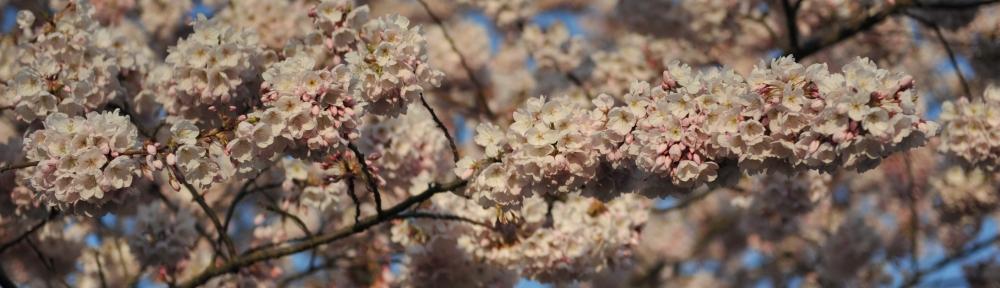 Cherry Blossoms, Portland
