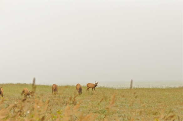 grazing elk